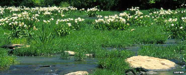 A view of Cahaba lilies at Cahaba River National Wildlife Refuge