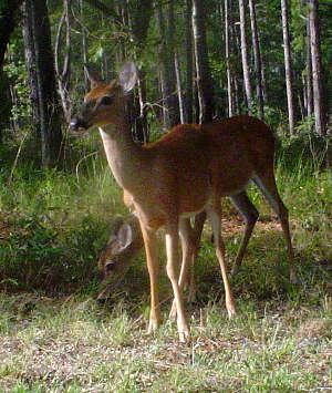 Deer in Tuskegee National Forest