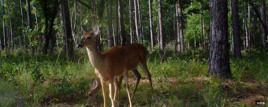 A white-tailed deer in Tuskegee National Forest