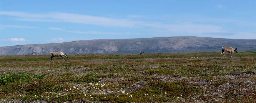 Caribou foraging across Cape Krusenstern National Monument