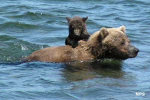 Brown bear sow with cub at Katmai National Park