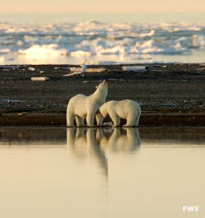 Polar bears at Arctic National Wildlife Refuge