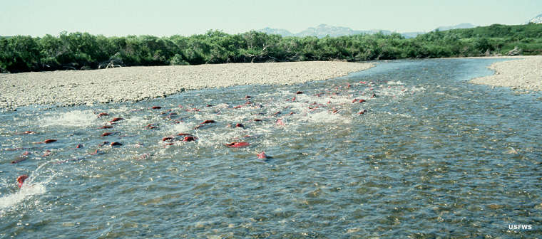 Salmon fighting their way upstream to spawn, Becharof National Wildlife Refuge