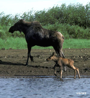Cow moose and calf at Innoko National Wildlife Refuge