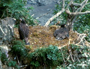 Fledgling bald eagles at Kodiak National Wildlife Refuge