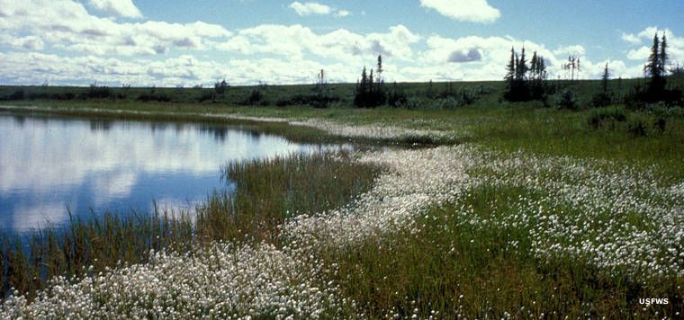 Cottongrass at Selawik National Wildlife Refuge