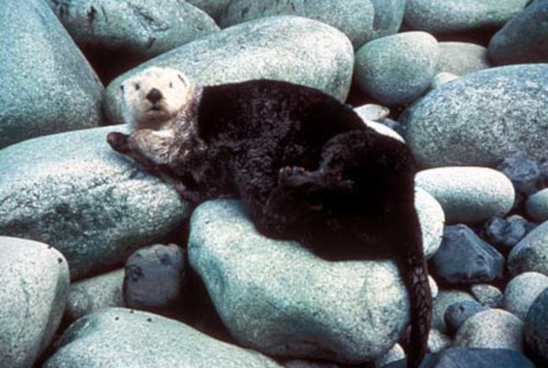 Sea Otter at Yukon Delta National Wildlife Refuge
