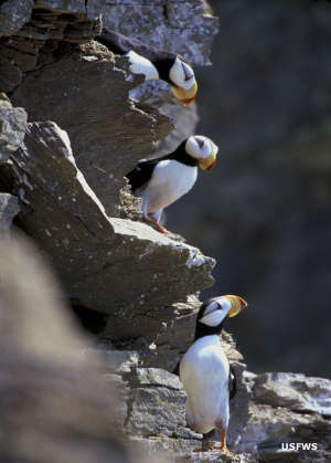 A view of puffins in their preferred habitat along the south coast of Alaska
