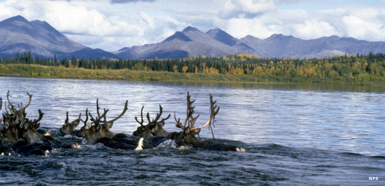 Caribou crossing the Kobuk River