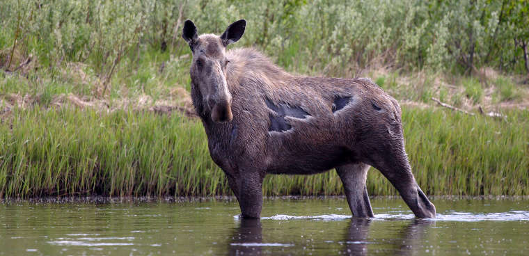 Moose along the Mulchatna