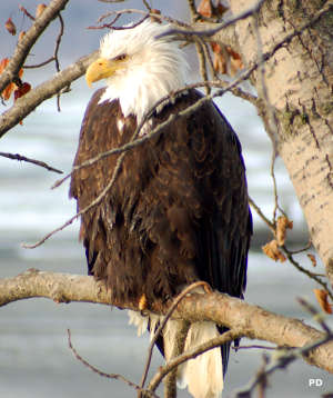 A bald eagle seen along the Haines Highway
