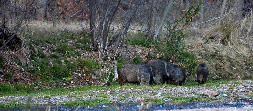 A small group of javelina drinking in the creek