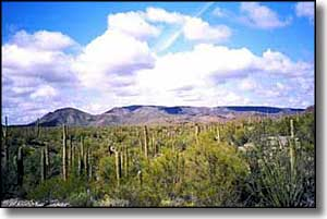 A saguaro forest on the Sonoran Desert National Monument