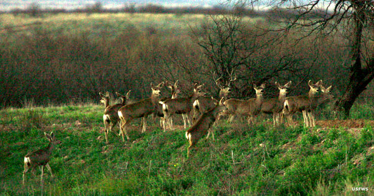 Mule deer at Buenos Aires National Wildlife Refuge