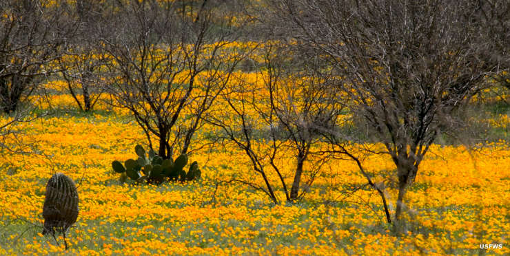 A field of Mexican poppies and cactus at Buenos Aires National Wildlife Refuge