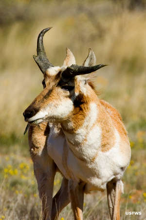 A pronghorn at Buenos Aires National Wildlife Refuge