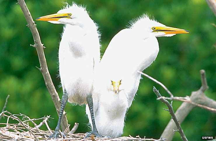 Young white egrets