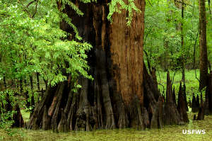 Champion Cypress Tree on Dale Bumpers White River National Wildlife Refuge