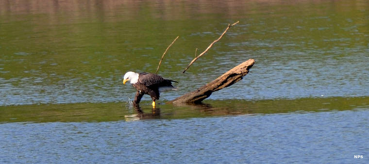 Eagle in the Arkansas River near Fort Smith National Historic Site
