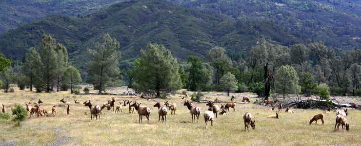 Tule elk near Lake Pillsbury, Mendocino National Forest