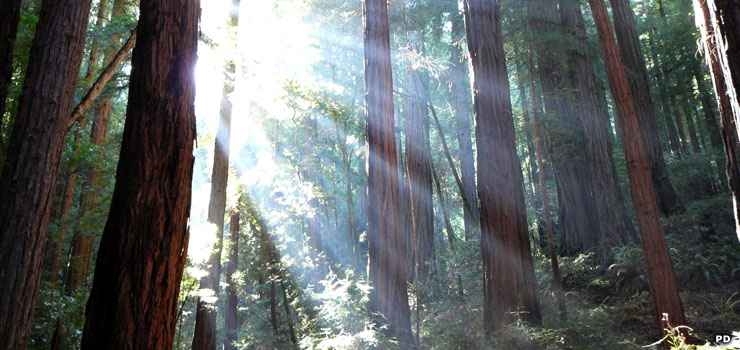 Sunlight through the redwoods in Muir Woods National Monument