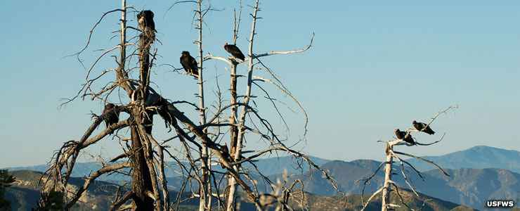 Condors in the trees at Blue Ridge National Wildlife Refuge
