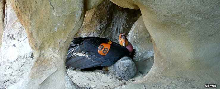 Condor and chick in nest cave