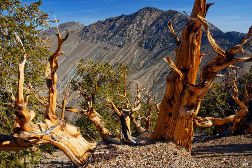 Ancient Bristlecone pines on Inyo National Forest