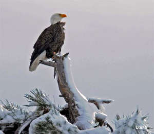 View of a bald eagle in the snowy mountains
