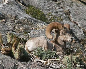 A bighorn sheep resting in the forest