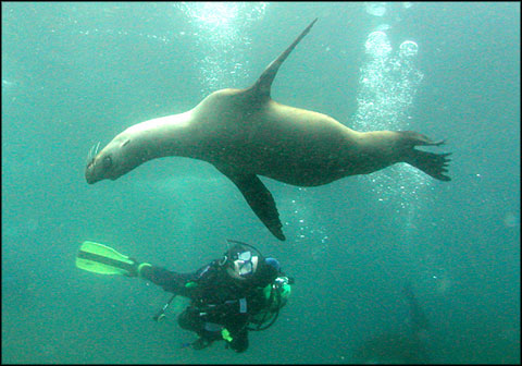 Sea lion with diver, Channel Islands National Marine Sanctuary