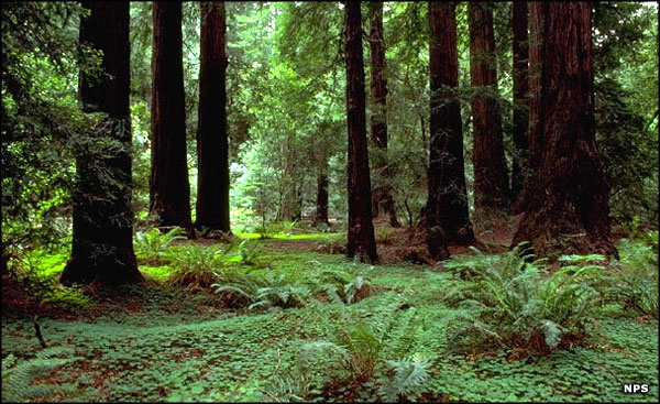 Under the redwood canopy at Muir Woods National Monument