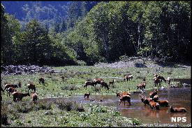 Elk in Elk Meadow