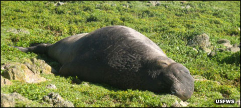 A northern elephant seal sprawling by itself