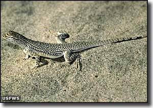 The Coachella Valley fringe-toed lizard