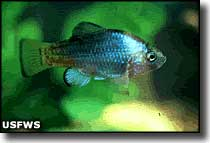 Endangered desert pupfish