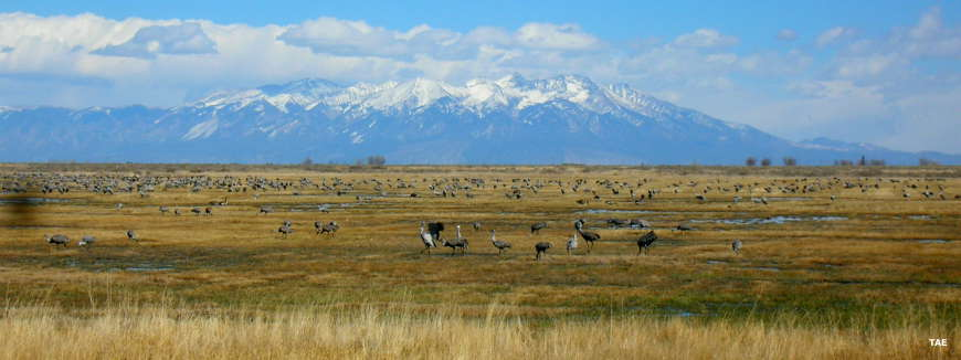 Sandhill cranes on the ground with Mount Blanca in the background