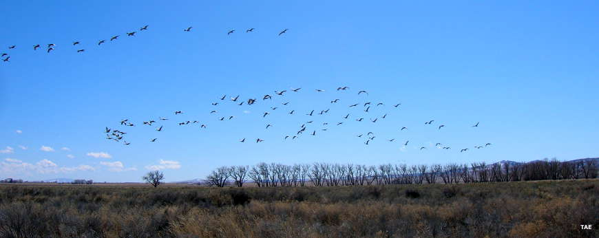 Flights of sandhill cranes during the spring migration