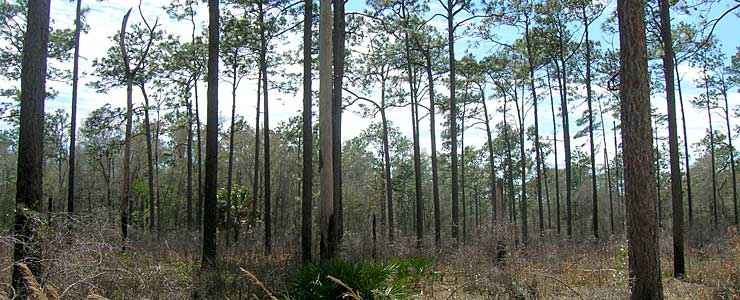 Pines in Apalachicola National Forest