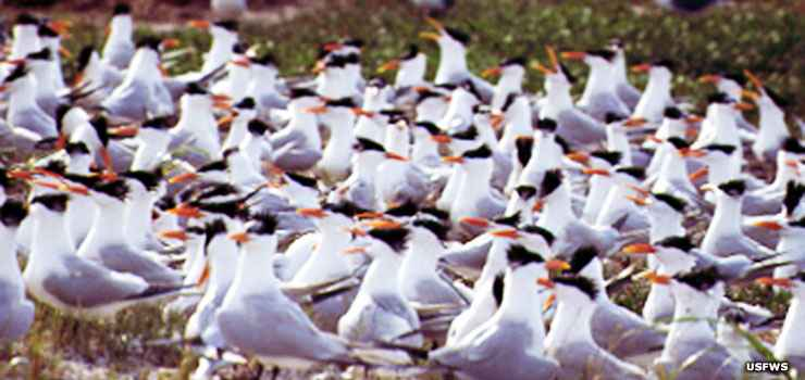 Royal terns at Passage Key National Wildlife Refuge