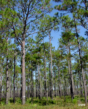 Looking through the pines on Apalachicola National Forest