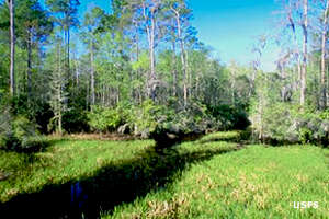Big Gum Swamp in Osceola National Forest
