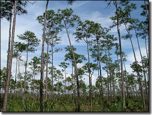 Pine rocklands in the Everglades