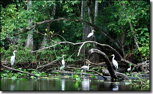 Birds in the trees in the Everglades