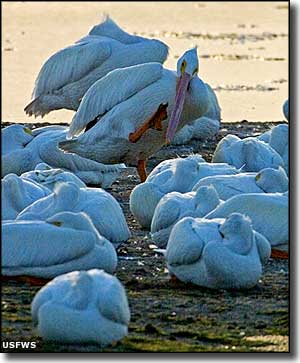 White pelicans at Ten Thousand Islands National Wildlife Refuge