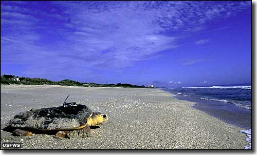 A loggerhead turtle heading back to sea with a radio monitor on its back