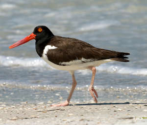 An American oystercatcher at Egmont Key National Wildlife Refuge