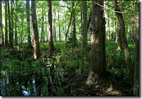 Riverside Cypress swamp
