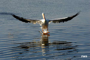 Pelican landing in water
