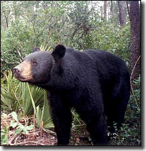 A black bear in Ocala National Forest, Florida Black Bear Scenic Byway